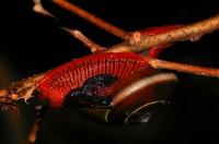 Undetermined member of Gastropoda - Cameron Highlands