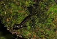 Blotched Forest Skink - Cameron Highlands
