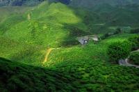 Čajové plantáže v Cameronské vysočině