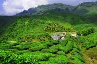 Čajové plantáže v Cameronské vysočině/Tea plantations in Cameron Highlands