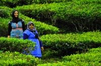 Tourists on the tea plantations