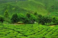 ea plantations in Cameron Highlands