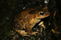 Asian Common Toad - Cameron Highlands