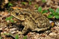 Duttaphrynus melanostictus - Cameron Highlands