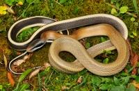 Beauty rat snake - Cameron Highlands