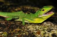 Green Crested Lizard, Bronchocela cristatella - Tanah Rata