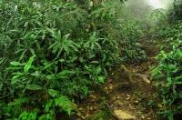 Mossy Forest - Gunung Brinchang