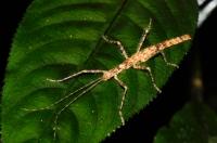 Undetermined member of Phasmatodea - Cameron Highlands