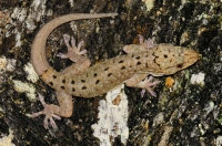 Spotted House Gecko - Tanah Rata