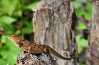 Oriental garden lizard - Jerantut