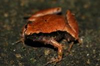 Microhyla heymonsi/Dark-sided Chorus Frog - Taman Negara
