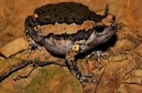 Kaloula pulchra, Banded Bullfrog - Taman Negara