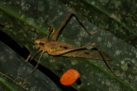 Undetermined member of Orthoptera in Taman Negara