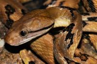 Boiga cynodon