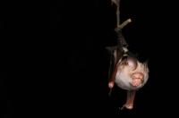 Intermediate Roundleaf Bat - Taman Negara