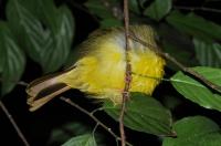 Undetermined member of birds - Taman Negara
