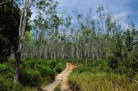 Rubber plantation - Kuala Tahan