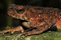 Phrynoidis aspera, Asian Giant Toad - Taman Negara