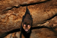 Hipposideros larvatus, Intermediate Roundleaf Bat - Gua Telinga