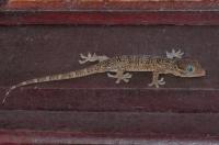 Gekon Gekko smithii/Bewak Pongo/Smith´s Gecko - Taman Negara