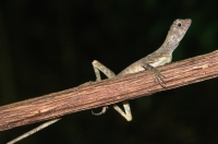 Aphaniotis fusca