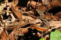 Eutropis multifasciata - Taman Negara