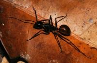 Camponotus gigas - Taman Negara