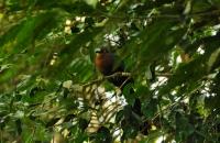 Chestnut-breasted Malkoha - Taman Negara