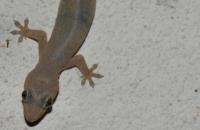 Stump-tailed Gecko - Kuala Tahan