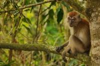 Long-tailed macaque - Kuala Selnagor