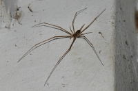 Undetermined member of Long-spinnered Bark Spiders (Hersiliidae) - Kuala Selangor
