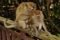 Long-tailed macaque - Kuala Selangor