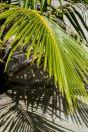 Palm tree, Huraa