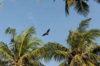Pteropus giganteus, Huraa, Maldives