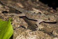 Hemidactylus frenatus, ostrov Huraa