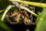 Pavouk, Huraa