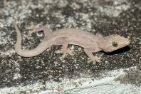 Hemidactylus cf. frenatus, ostrov Huraa