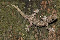 Hemidactylus cf. brookii, ostrov Huraa