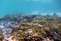 Dascyllus aruanus, Maledivy