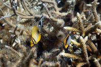 Chaetodon spp., Maledivy