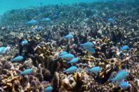 Chromis atripectoralis, Maledivy