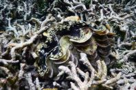 Tridacna sp. a Anthozoa, Maledivy