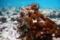 Ascidiacea, Maledivy