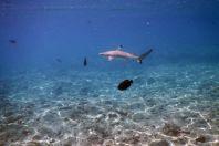Carcharhinus melanopterus, Maledivy