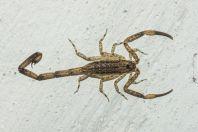 Scorpio, Huraa, Maldives