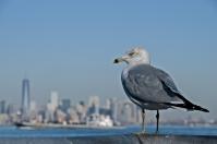 Larus delawarensis, Staten Island