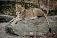 Lion, Bronx Zoo