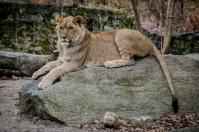 Lion, Bronx Zoo