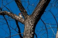 Melanerpes carolinus, Central Park
