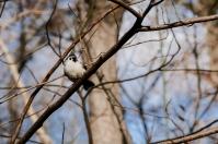 Baeolophus bicolor, Central Park